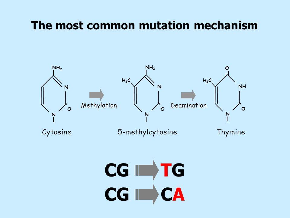NH 2 N N N N N NH OO H3CH3CH3CH3C Cytosine 5-methylcytosineThymine MethylationDeamination O O CG TG CG CA The most common mutation mechanism
