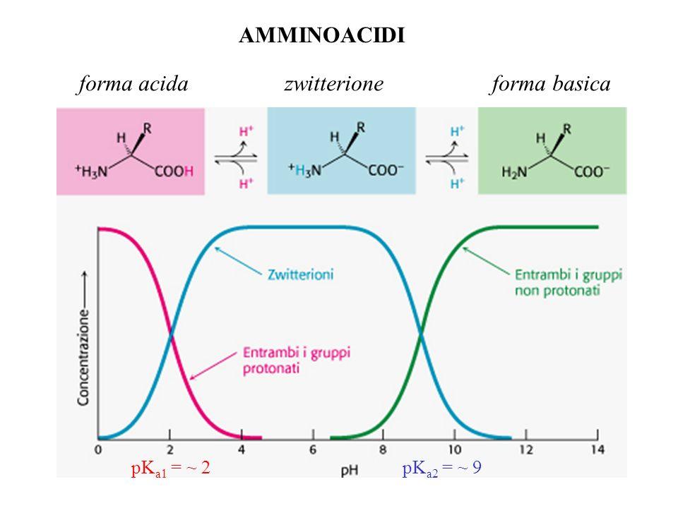 AMMINOACIDI forma acida zwitterione forma basica pK a1 = ~ 2pK a2 = ~ 9