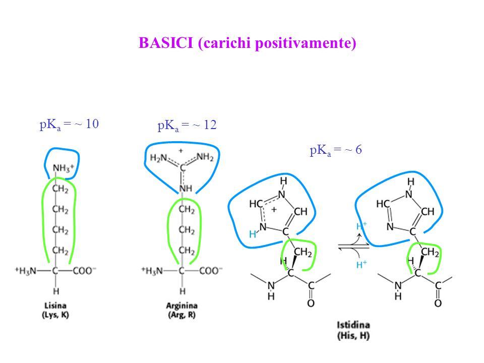 BASICI (carichi positivamente) pK a = ~ 10 pK a = ~ 12 pK a = ~ 6