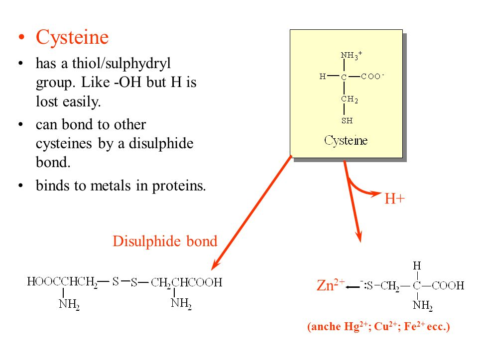 Cysteine has a thiol/sulphydryl group. Like -OH but H is lost easily. can bond to other cysteines by a disulphide bond. binds to metals in proteins. D