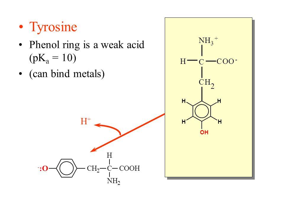Tyrosine Phenol ring is a weak acid (pK a = 10) (can bind metals) C NH 3 + HCOO - CH 2 OHOH H H H H CH 2 C H COOH NH 2 H+H+ -:O-:O