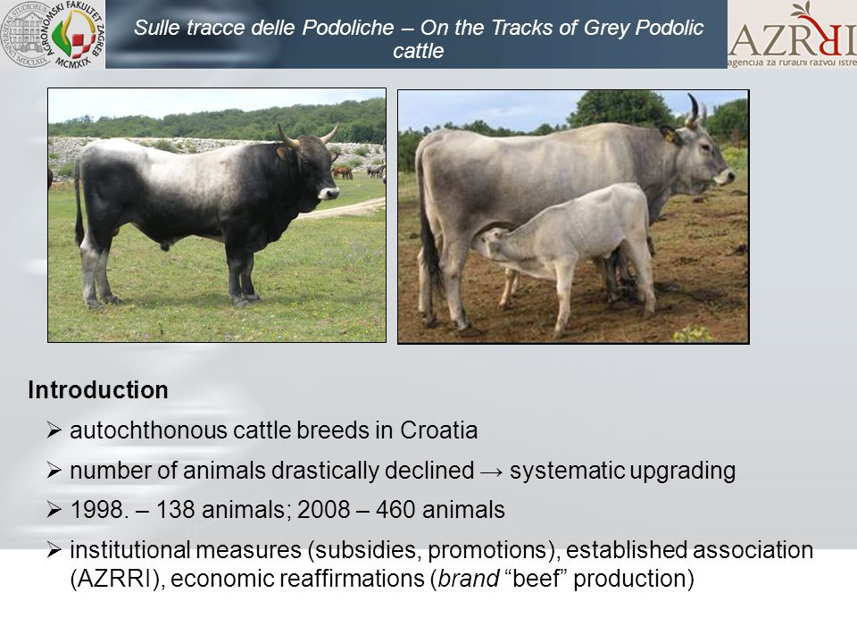 Introduction autochthonous cattle breeds in Croatia number of animals drastically declined systematic upgrading 1998. – 138 animals; 2008 – 460 animal