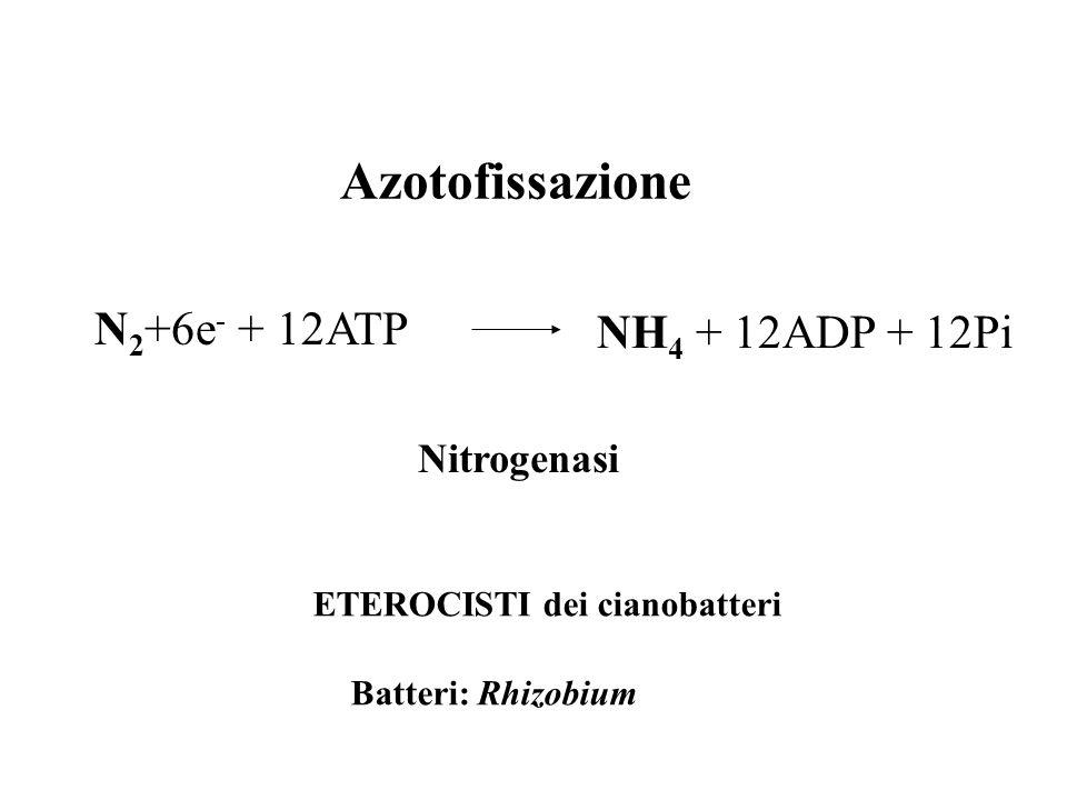 Azotofissazione NH 4 + 12ADP + 12Pi N 2 +6e - + 12ATP Nitrogenasi ETEROCISTI dei cianobatteri Batteri: Rhizobium