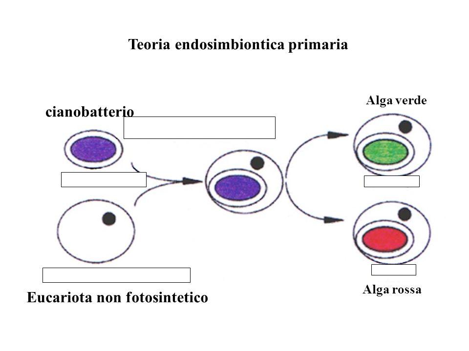 Teoria endosimbiontica primaria Alga verde Alga rossa Eucariota non fotosintetico cianobatterio