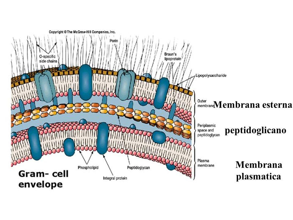 Membrana plasmatica peptidoglicano Membrana esterna