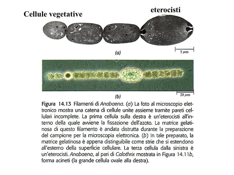 eterocisti Cellule vegetative