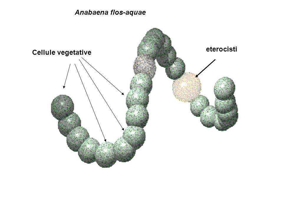 eterocisti Cellule vegetative Anabaena flos-aquae