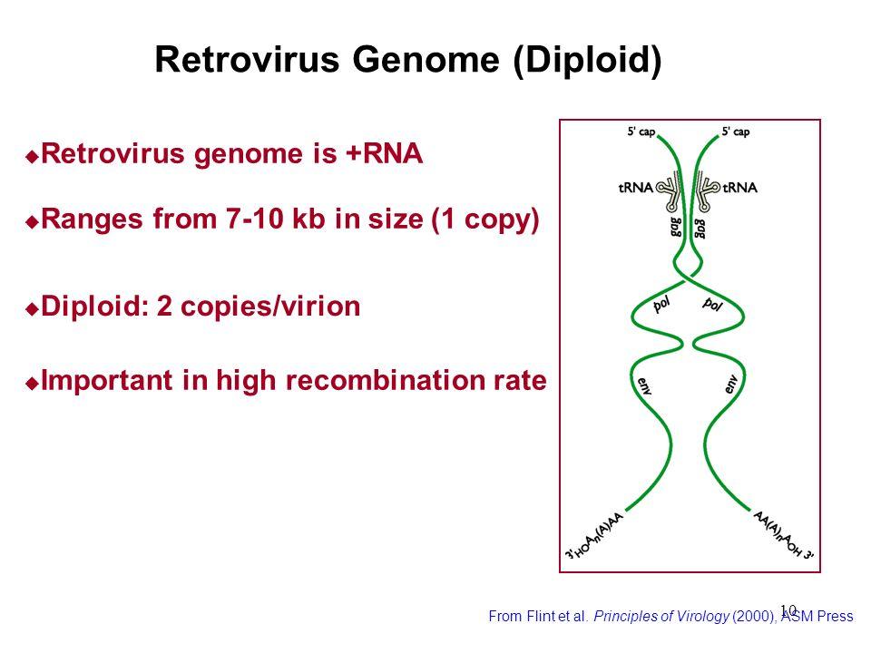 10 Retrovirus Genome (Diploid) From Flint et al. Principles of Virology (2000), ASM Press Ranges from 7-10 kb in size (1 copy) Diploid: 2 copies/virio