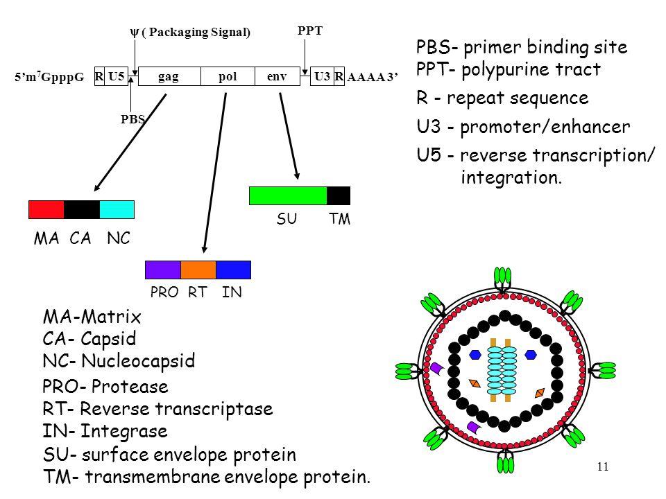 11 AAAA 3 CA RU5U3R 5m 7 GpppG gagpolenv ( Packaging Signal) PBS PPT MACANC PRORTIN SUTM MA-Matrix CA- Capsid NC- Nucleocapsid PRO- Protease RT- Rever