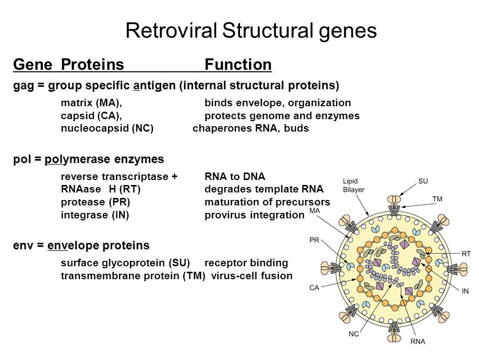 13 Retroviral Structural genes GeneProteinsFunction gag = group specific antigen (internal structural proteins) matrix (MA), binds envelope, organizat