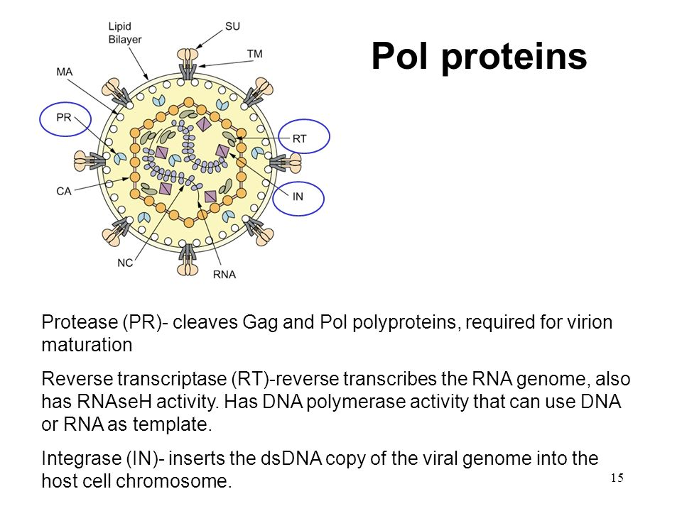 15 Protease (PR)- cleaves Gag and Pol polyproteins, required for virion maturation Reverse transcriptase (RT)-reverse transcribes the RNA genome, also
