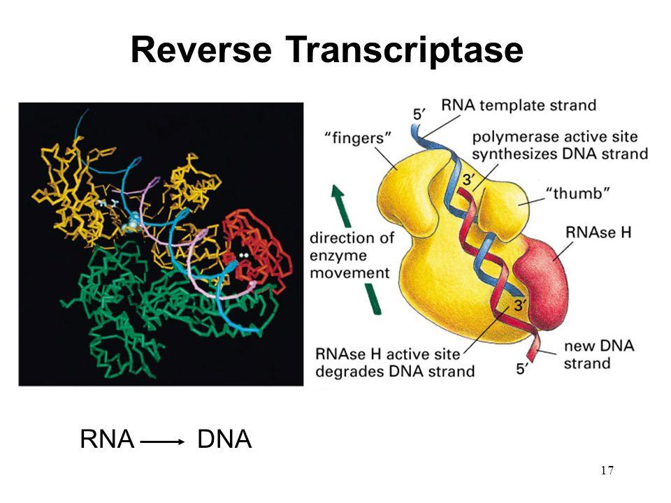 17 Reverse Transcriptase RNADNA
