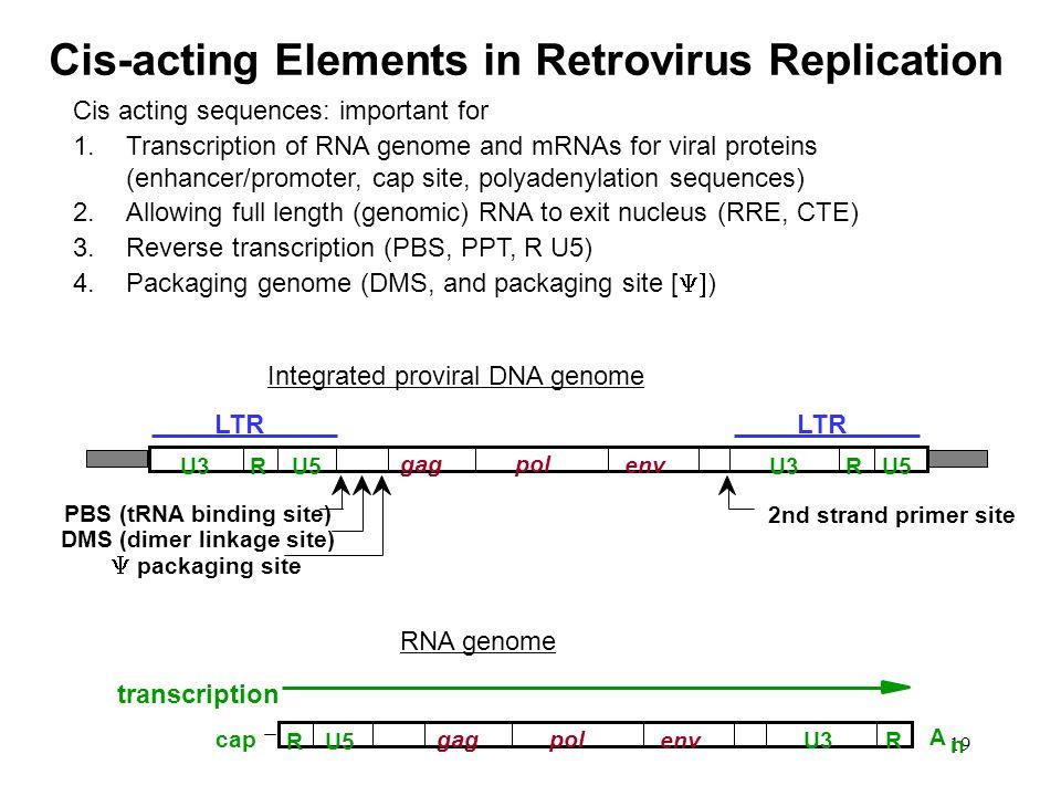 19 gagpol env RU3U5RU3U5 PBS (tRNA binding site) DMS (dimer linkage site) packaging site 2nd strand primer site LTR gagpol envR U5 U3 cap A n R transc