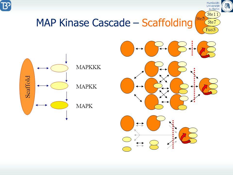 Humboldt- Universität zu Berlin MAP Kinase Cascade – Scaffolding MAPKKK MAPKK MAPK Ste5 Ste11 Ste7 Fus3 Scaffold