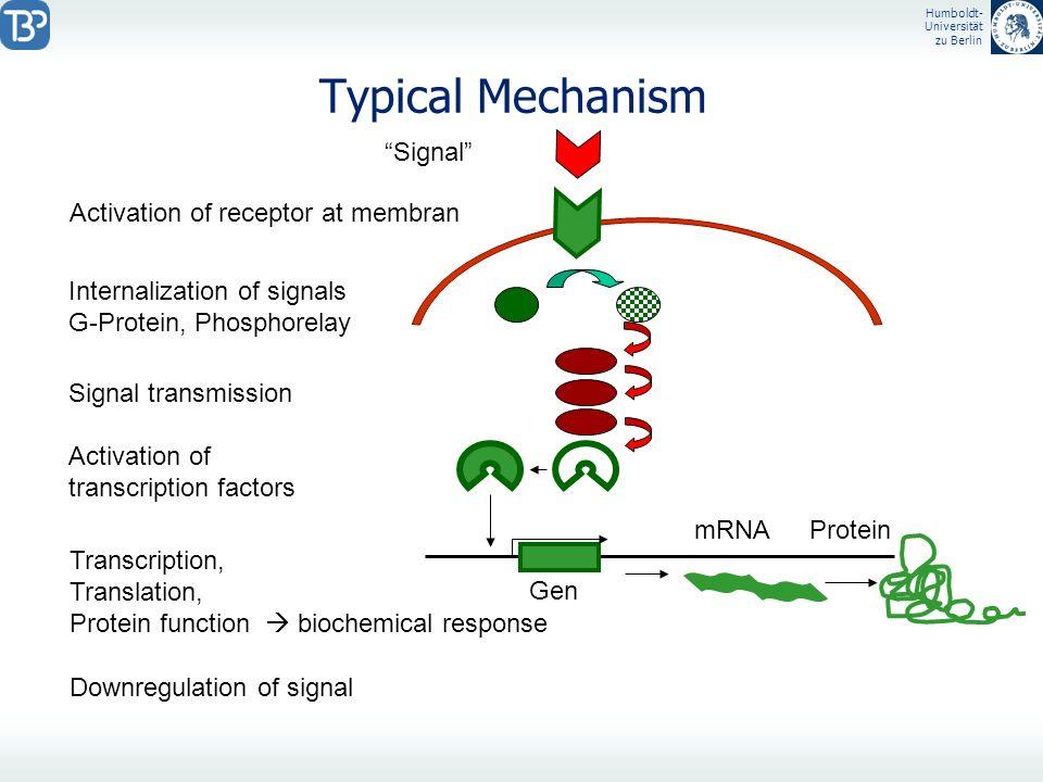 Humboldt- Universität zu Berlin Typical Mechanism Signal Activation of receptor at membran Internalization of signals G-Protein, Phosphorelay Signal t