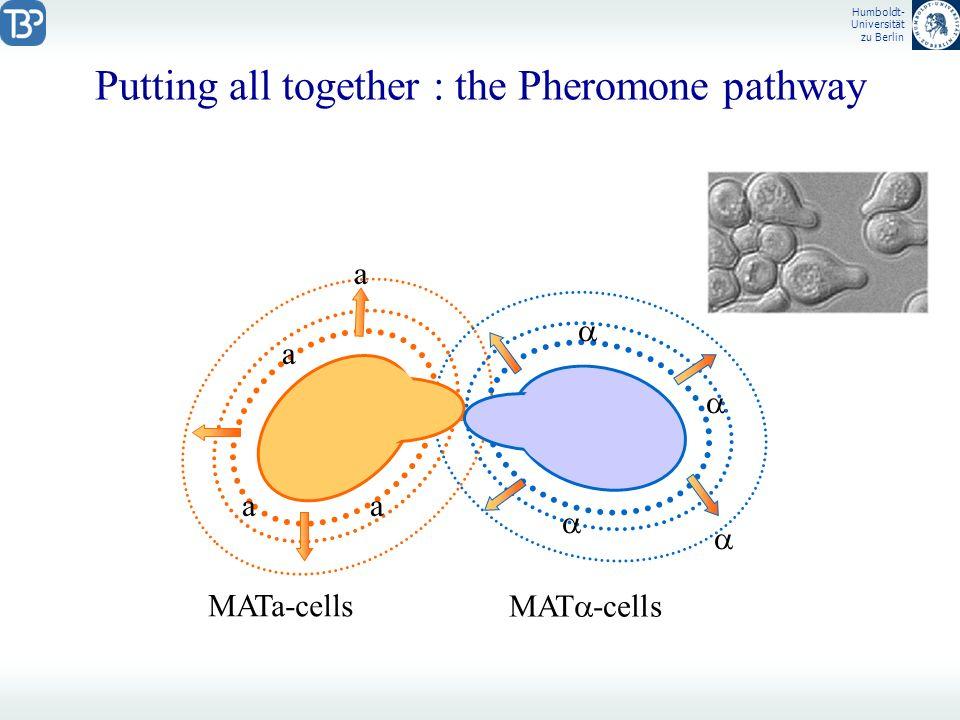 Humboldt- Universität zu Berlin Putting all together : the Pheromone pathway a a a a MATa-cells MAT -cells