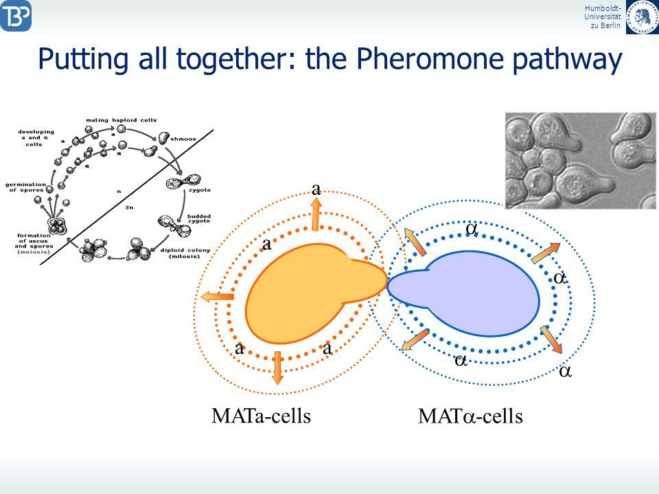 Humboldt- Universität zu Berlin MATa-cells MAT -cells Putting all together: the Pheromone pathway a a a a