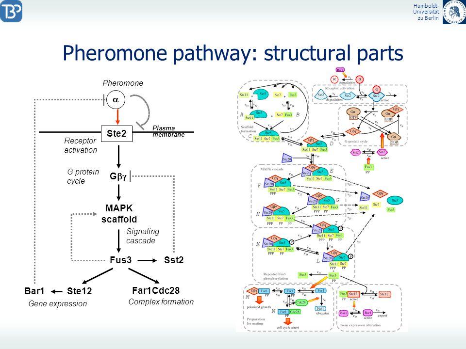 Humboldt- Universität zu Berlin Pheromone pathway: structural parts Ste2 G Fus3Sst2 Ste12Bar1 MAPK scaffold Far1Cdc28 Plasma membrane Gene expression