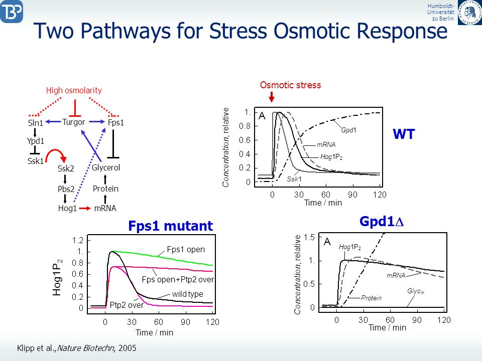 Humboldt- Universität zu Berlin Two Pathways for Stress Osmotic Response Ypd1 High osmolarity Ssk1 Sln1 Ssk2 Pbs2 Hog1 mRNA Protein Glycerol Turgor Fp
