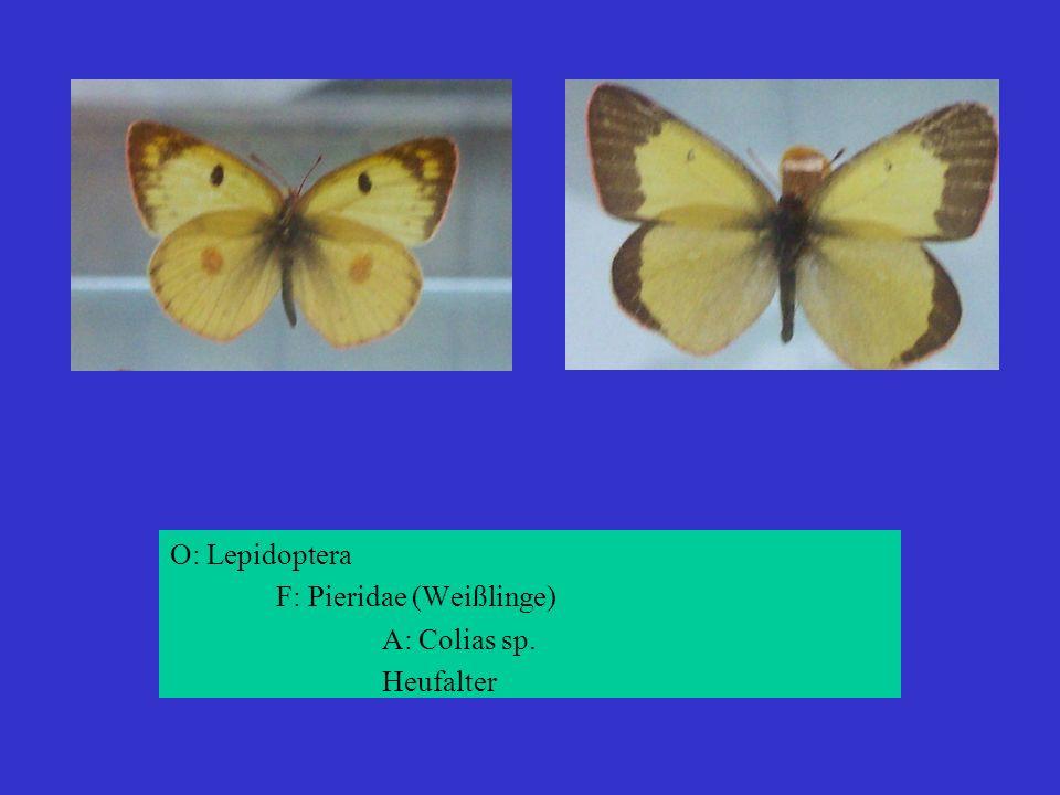 O: Lepidoptera F: Pieridae (Weißlinge) A: Colias sp. Heufalter