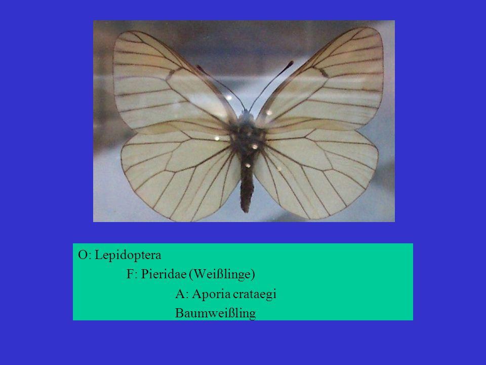 O: Lepidoptera F: Pieridae (Weißlinge) A: Aporia crataegi Baumweißling