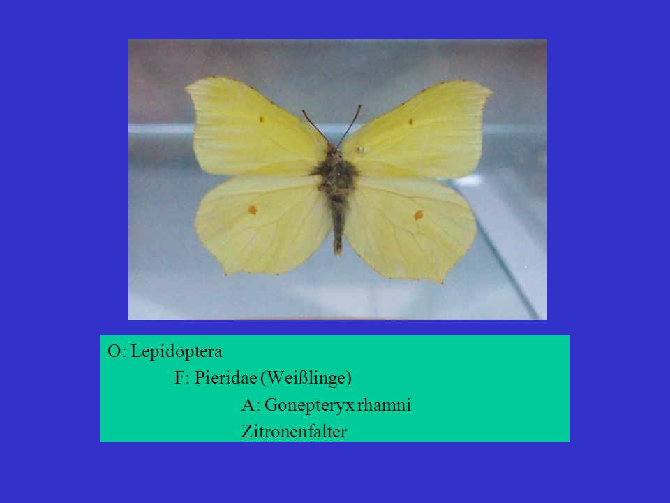 O: Lepidoptera F: Pieridae (Weißlinge) A: Gonepteryx rhamni Zitronenfalter
