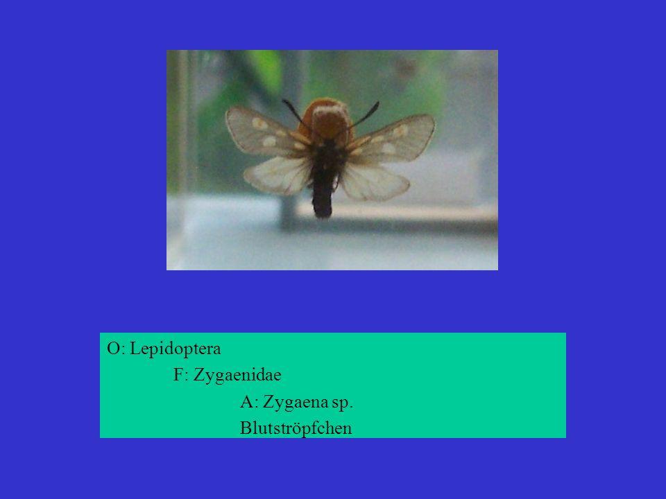O: Lepidoptera F: Zygaenidae A: Zygaena sp. Blutströpfchen