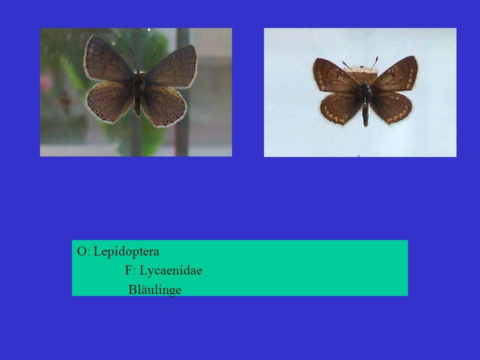 O: Lepidoptera F: Lycaenidae Bläulinge