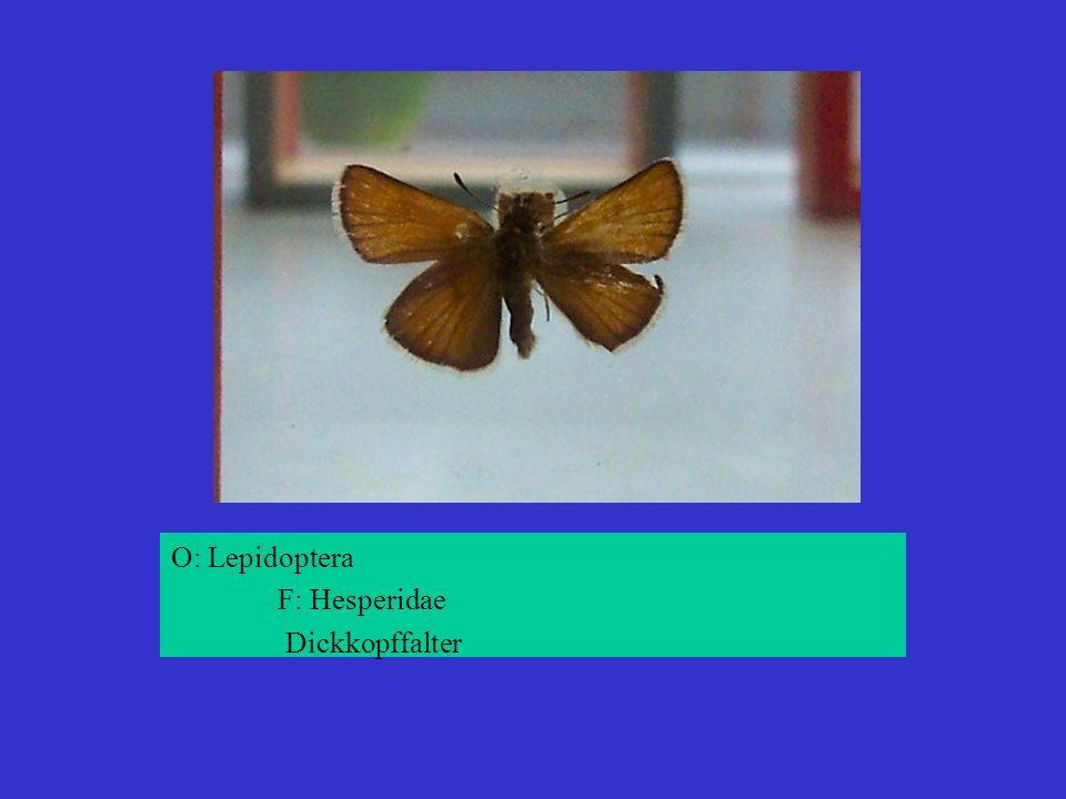O: Lepidoptera F: Hesperidae Dickkopffalter