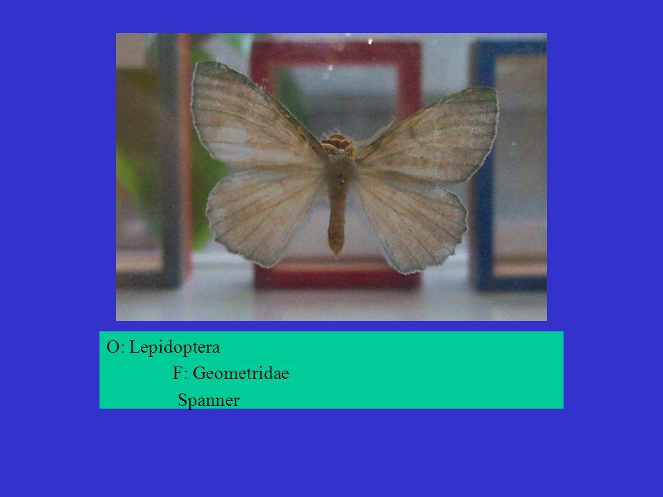 O: Lepidoptera F: Geometridae Spanner