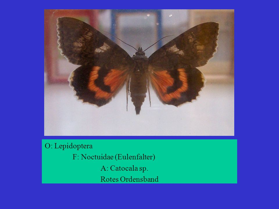 O: Lepidoptera F: Noctuidae (Eulenfalter) A: Catocala sp. Rotes Ordensband
