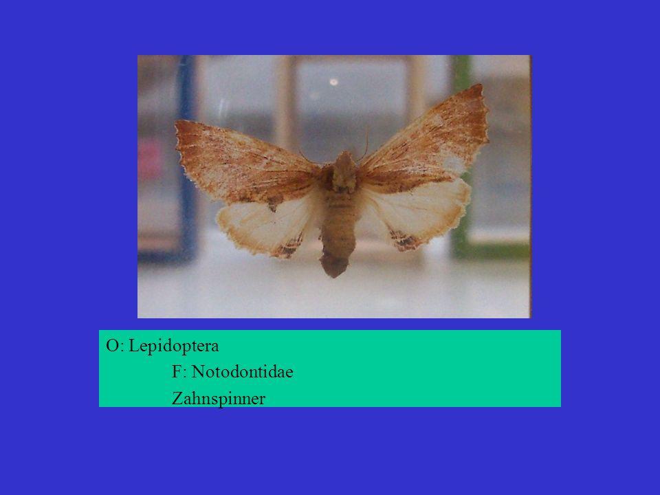 O: Lepidoptera F: Notodontidae Zahnspinner