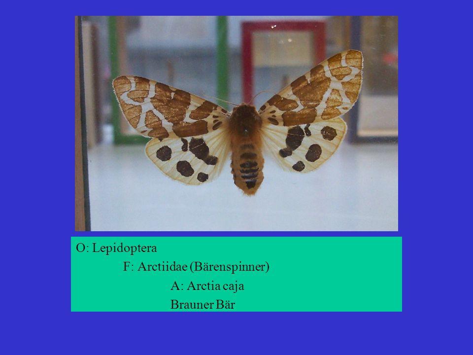 O: Lepidoptera F: Arctiidae (Bärenspinner) A: Arctia caja Brauner Bär