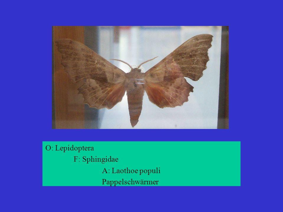 O: Lepidoptera F: Sphingidae A: Laothoe populi Pappelschwärmer