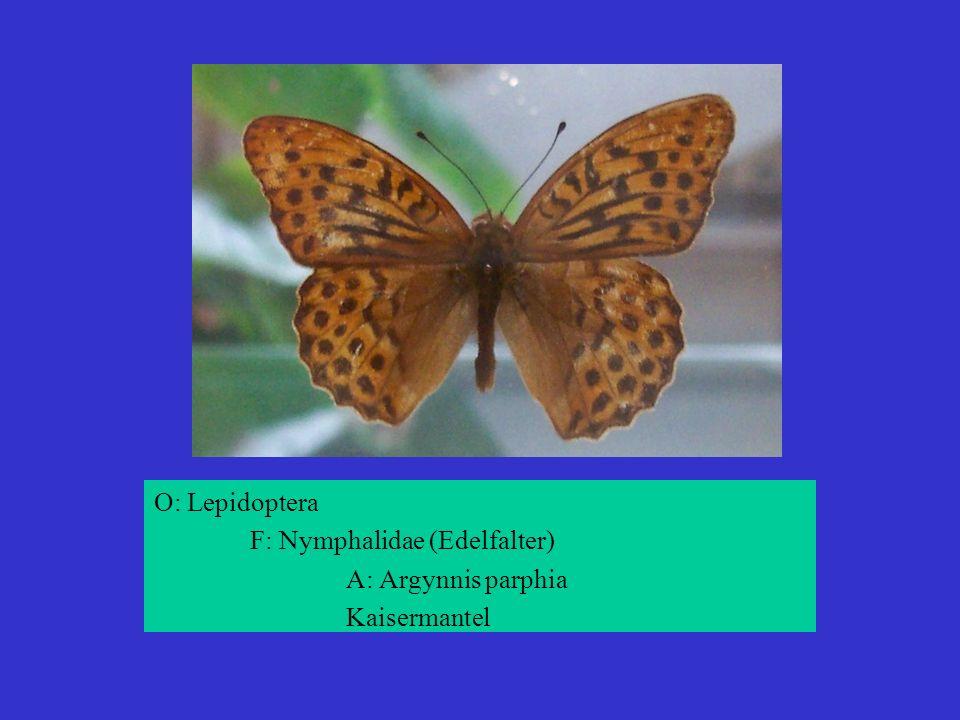 O: Lepidoptera F: Nymphalidae (Edelfalter) A: Argynnis parphia Kaisermantel