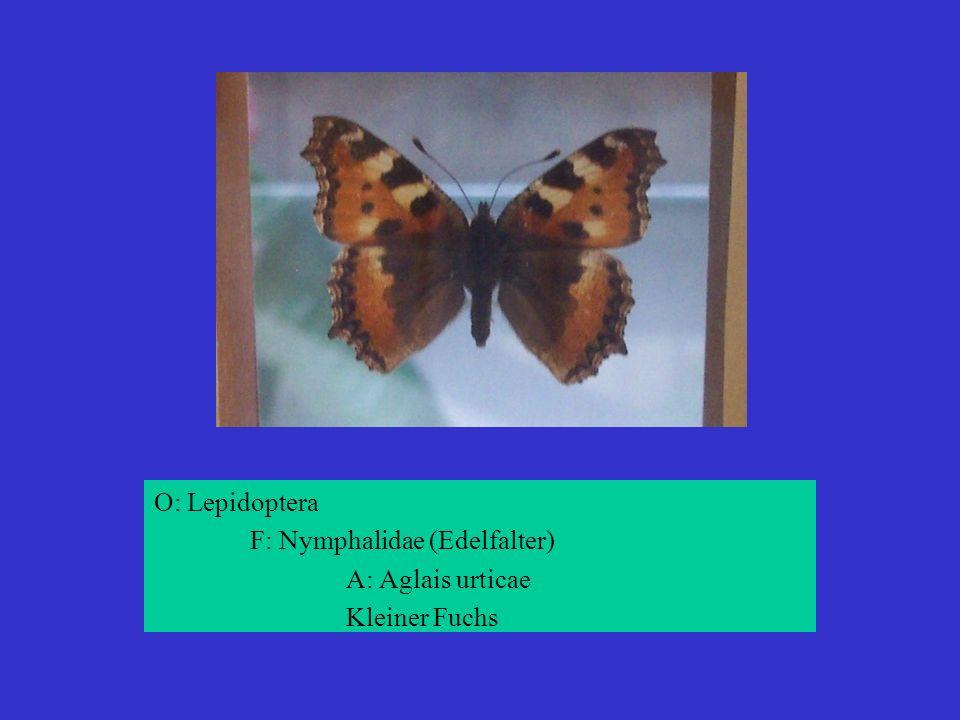 O: Lepidoptera F: Nymphalidae (Edelfalter) A: Aglais urticae Kleiner Fuchs