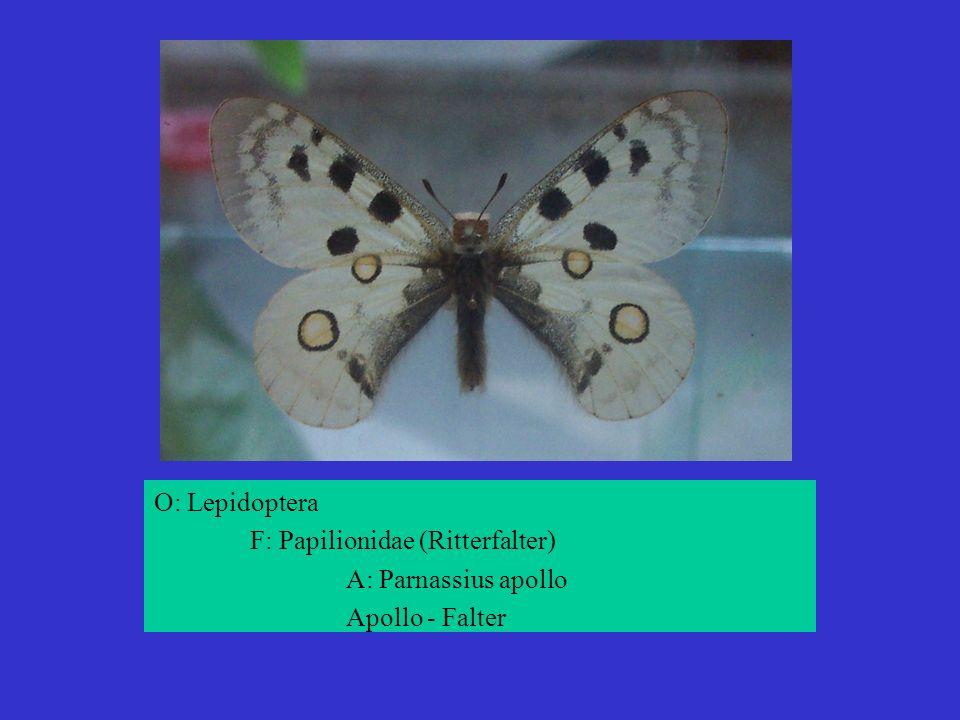 O: Lepidoptera F: Papilionidae (Ritterfalter) A: Parnassius apollo Apollo - Falter