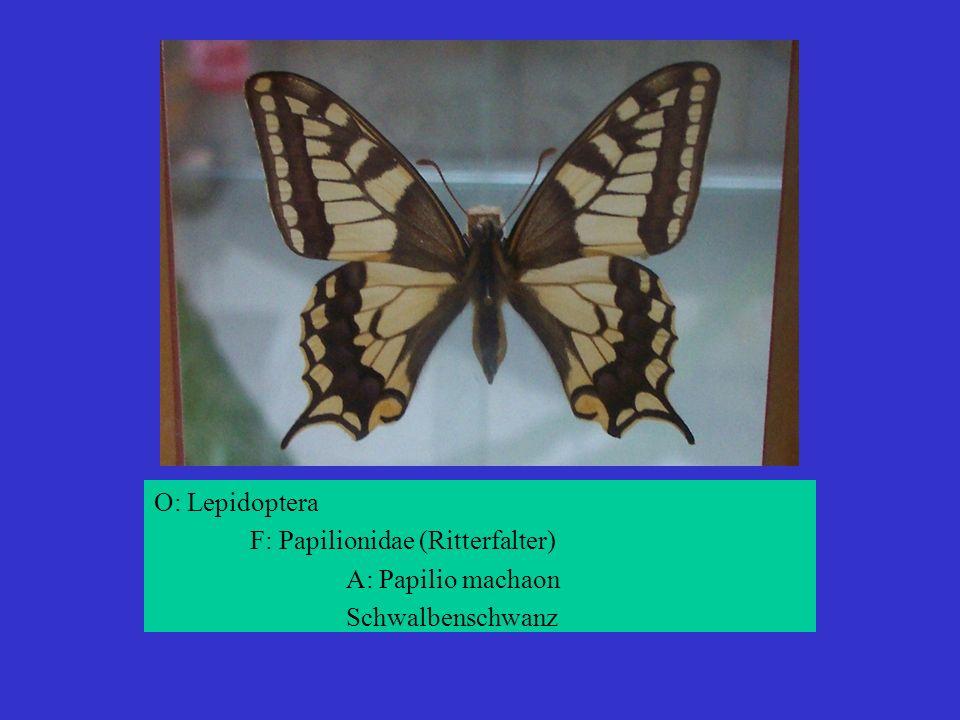 O: Lepidoptera F: Papilionidae (Ritterfalter) A: Papilio machaon Schwalbenschwanz