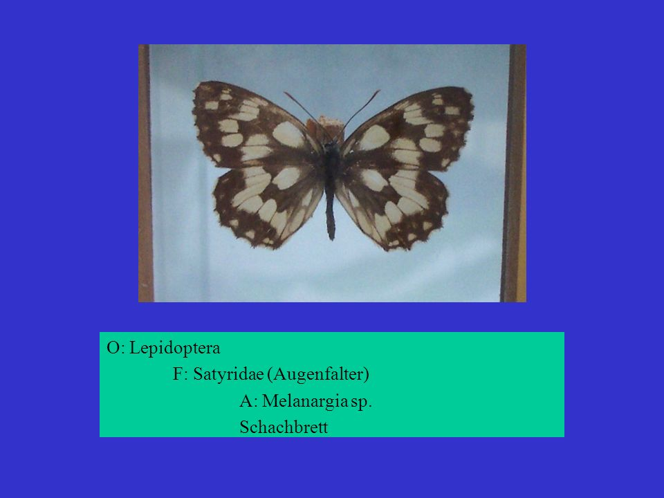 O: Lepidoptera F: Satyridae (Augenfalter) A: Melanargia sp. Schachbrett
