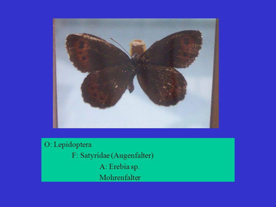 O: Lepidoptera F: Satyridae (Augenfalter) A: Erebia sp. Mohrenfalter