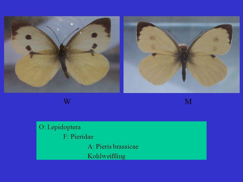 O: Lepidoptera F: Pieridae A: Pieris brassicae Kohlweißling WMWM