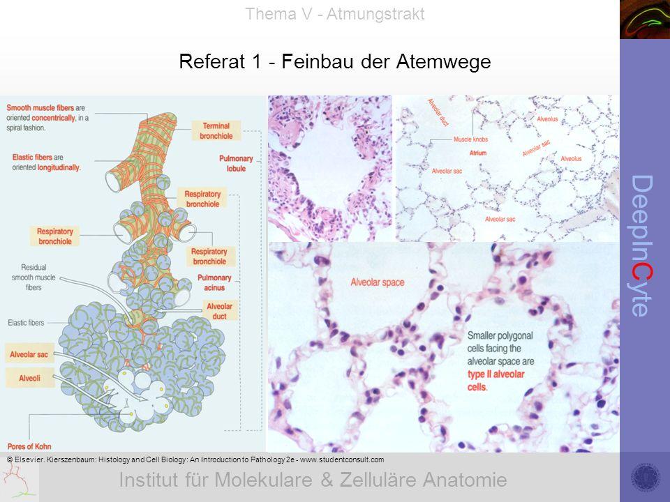 Institut für Molekulare & Zelluläre Anatomie DeepInCyte Thema V - Atmungstrakt Referat 1 - Feinbau der Atemwege © Elsevier. Kierszenbaum: Histology an