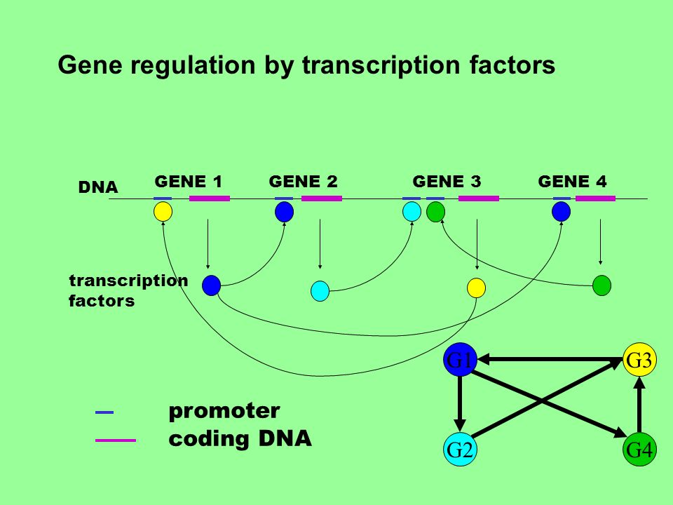 promoter coding DNA GENE 1GENE 2GENE 3GENE 4 DNA transcription factors G1 G2G4 G3 Gene regulation by transcription factors