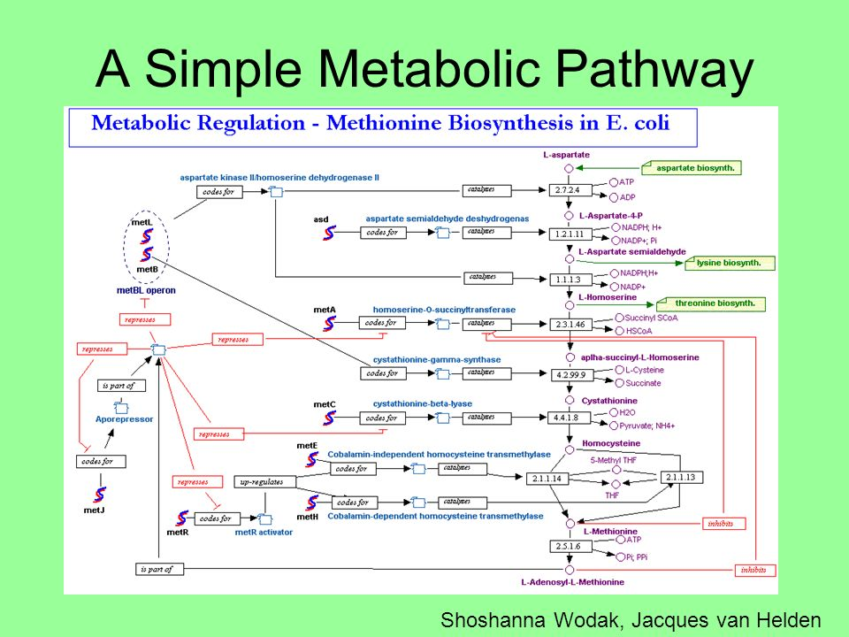 A Simple Metabolic Pathway Shoshanna Wodak, Jacques van Helden