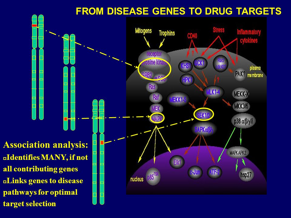 Association analysis: p Identifies MANY, if not all contributing genes p Links genes to disease pathways for optimal target selection FROM DISEASE GENES TO DRUG TARGETS