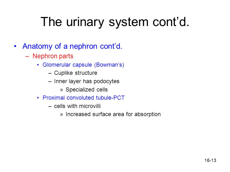 16-13 The urinary system contd. Anatomy of a nephron contd. –Nephron parts Glomerular capsule (Bowmans) –Cuplike structure –Inner layer has podocytes