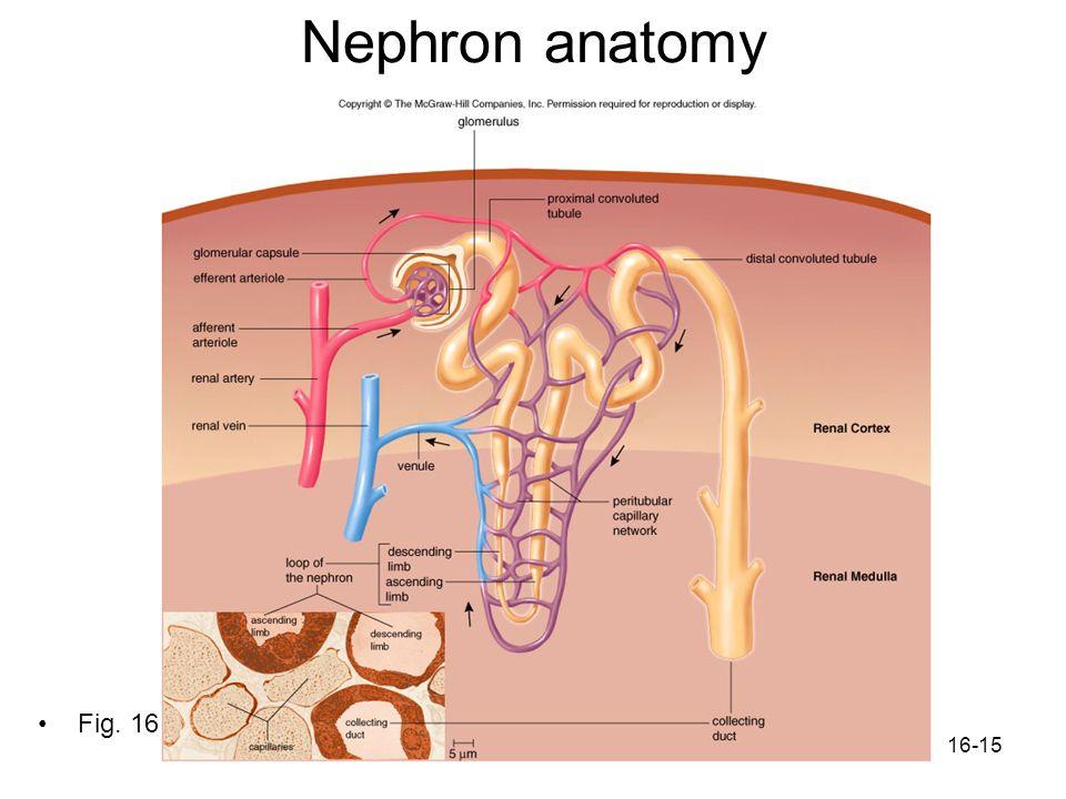 16-15 Nephron anatomy Fig. 16.4
