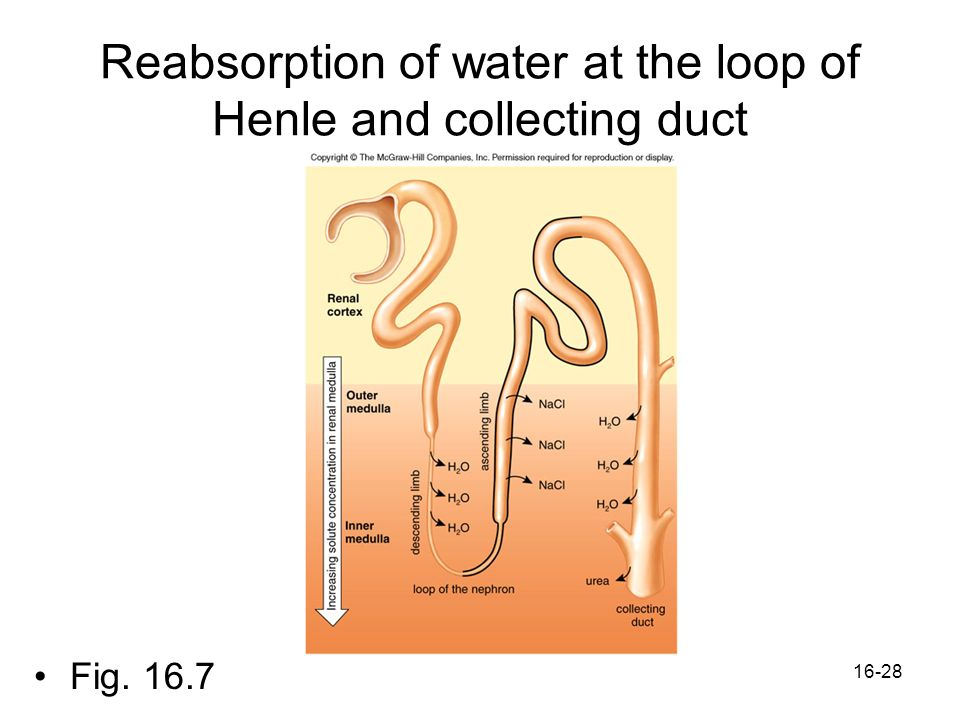 16-28 Reabsorption of water at the loop of Henle and collecting duct Fig. 16.7