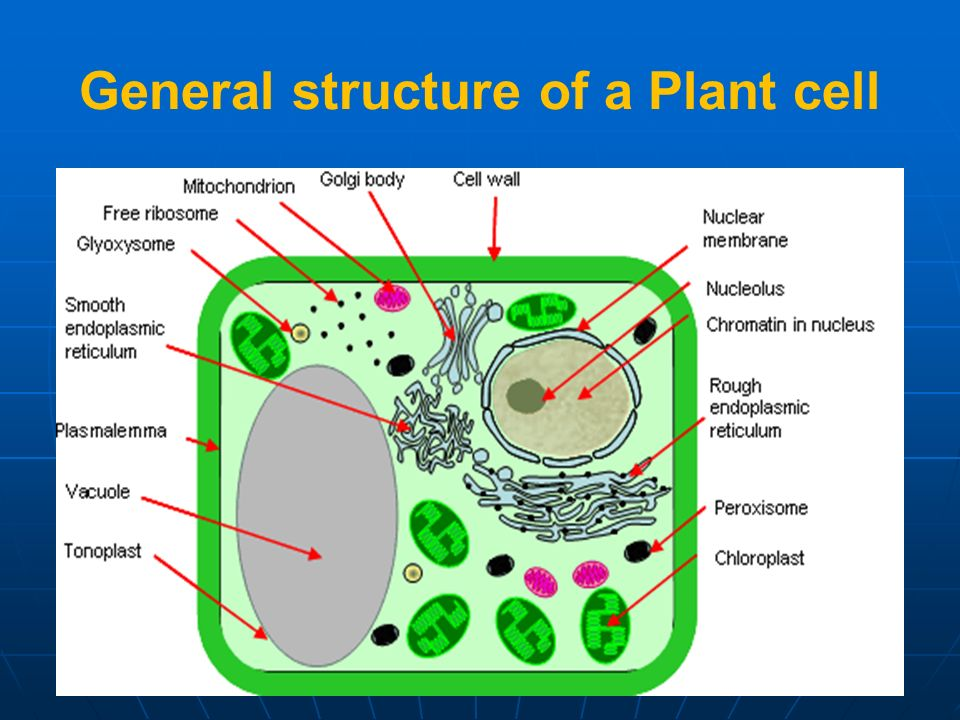 General structure of a Plant cell