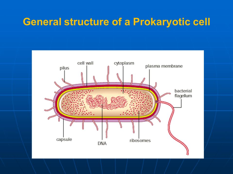 General structure of a Prokaryotic cell